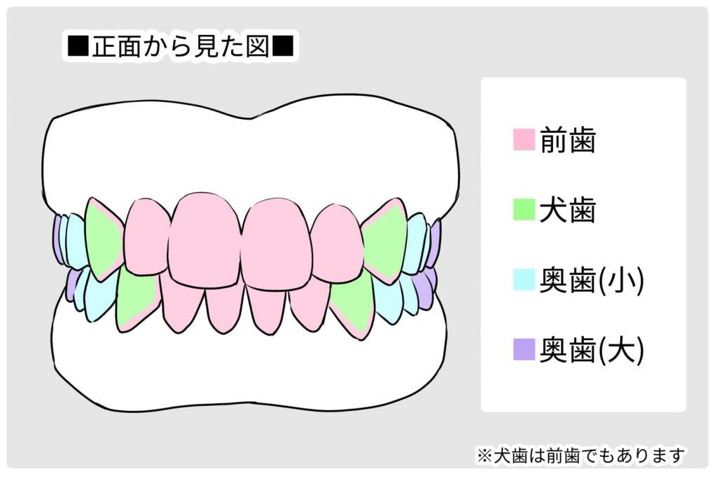正面から歯を見た図イラスト